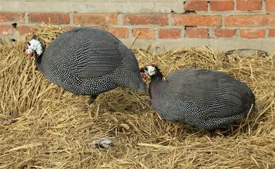 湖南株洲灰色珍珠鸡 2-4斤