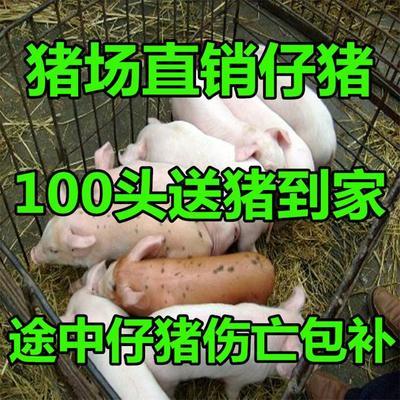 这是一张关于大约克仔猪的产品图片
