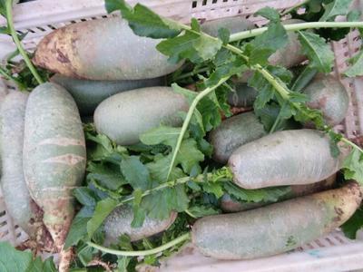 山东省枣庄市滕州市青皮绿萝卜 1~1.5斤