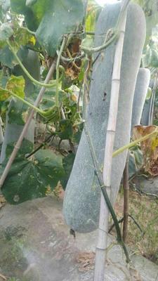 河北省廊坊市香河县白皮冬瓜 20斤以上 白霜