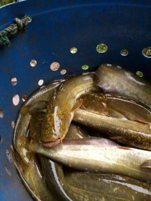 四川巴中巴州区大口鲶鱼 人工养殖 1-1.5公斤