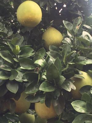湖北宜昌平和蜜柚 2斤以上