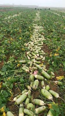 山西忻州青头萝卜 1~1.5斤