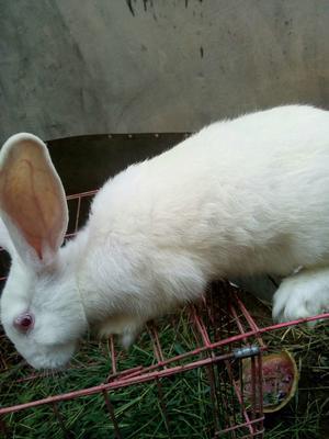 这是一张关于兔子 1斤以下的产品图片