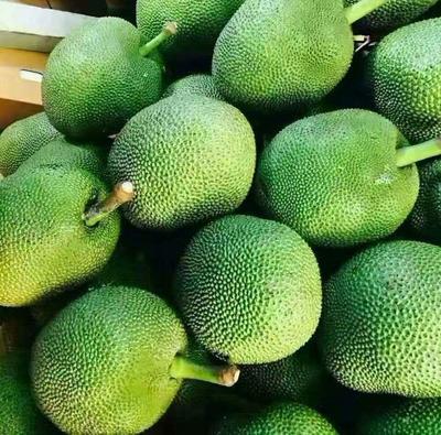 云南西双版纳泰国菠萝蜜 15斤以上