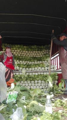 河北保定北京新三号白菜 3~6斤 净菜