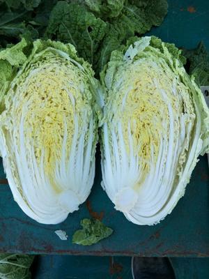 辽宁省锦州市凌海市秋宝白菜 3~6斤 净菜