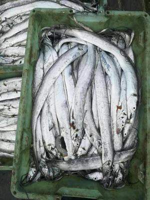 江苏连云港南海带鱼 0.5公斤以下 野生