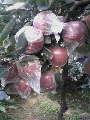 这是一张关于富士王苹果 65mm以上 条红 膜袋的产品图片