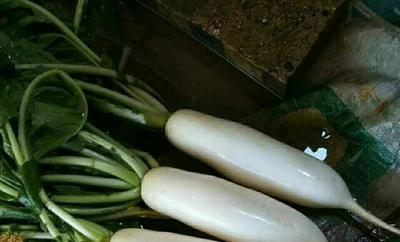 山东省聊城市冠县301白萝卜 1.5~2斤