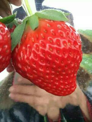 辽宁丹东奶油草莓 50克以上