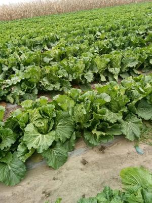 吉林省四平市公主岭市东北大矮白菜 6~10斤 二毛菜