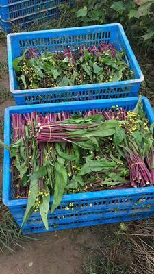 湖北省荆州市石首市红菜苔 20~25cm