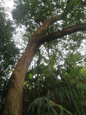 广西钦州钦北区樟木