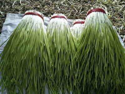 辽宁葫芦岛蒜黄 45 - 50cm