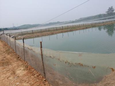 湖南永州台湾泥鳅苗