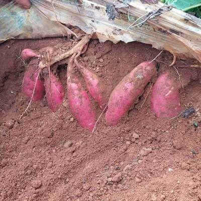这是一张关于西瓜红红薯 4两以上 红皮的产品图片