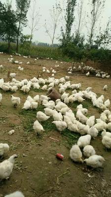 河南商丘白羽乌鸡 3-4斤 平均三斤多