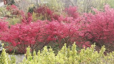 湖北荆门秋枫树