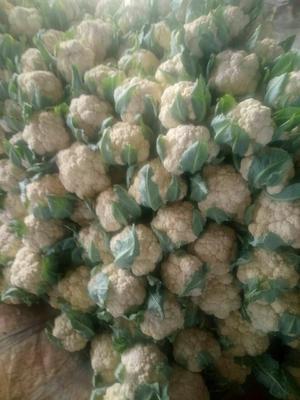 山东聊城白花菜花 紧密 2~3斤 乳白