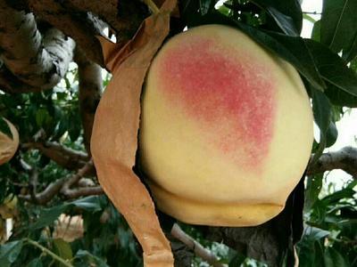 这是一张关于中华寿桃桃树苗 0.5~1米的产品图片