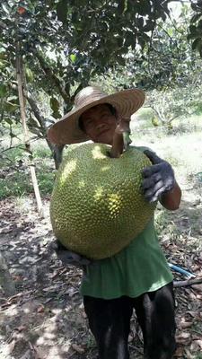 云南西双版纳泰国菠萝蜜 15斤以上 泰国菠萝蜜