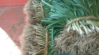 江苏盐城红根蒜苗 40 - 45cm