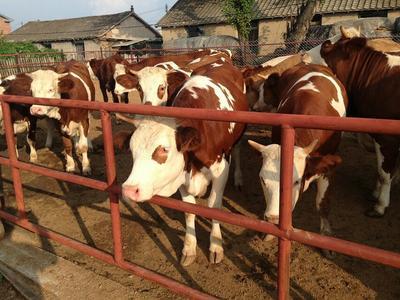 这是一张关于黄牛 200-300斤 统货的产品图片