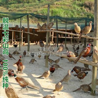广西南宁七彩山鸡 1斤以下 脱温野鸡
