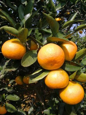 这是一张关于蜜桔 5 - 5.5cm 1 - 1.5两 柑桔 蜜橘的产品图片