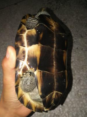 湖北黄冈中华草龟 10-20cm 1-1.5斤