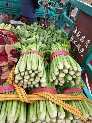 河北邯郸法国皇后芹菜 50~55cm 0.5~1.0斤
