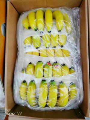 河北邯郸西双版纳香蕉 70斤以上 八成熟
