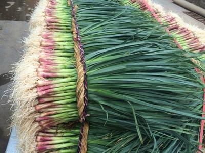 这是一张关于青蒜蒜苗 60 - 70cm的产品图片