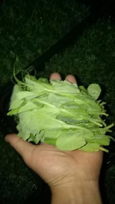 四川德阳豌豆尖 7-10cm 饱满