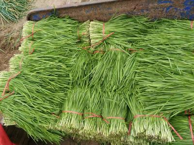 河南商丘平韭6号韭菜 二茬 35~40cm