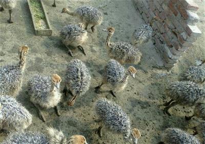 山东济宁非洲鸵鸟苗 哪里有卖鸵鸟苗的 鸵鸟养殖场 鸵鸟蛋多少