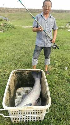 湖南岳阳淡水青鱼 10-18公斤 人工养殖 最小30斤,最大50斤