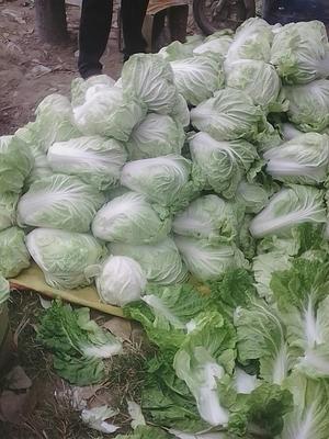 河南省商丘市梁园区夏阳白菜 3~6斤 净菜