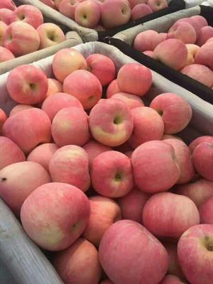 这是一张关于红富士苹果 膜袋 全红 75mm以上 山东红富士苹果产地 山东苹果批发的产品图片