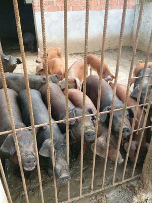 湖北襄樊生态土黑毛猪 200-300斤