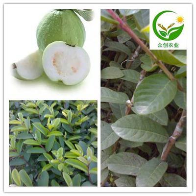 这是一张关于四季珍珠番石榴苗的产品图片