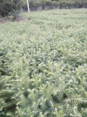 广西贺州杉木树苗