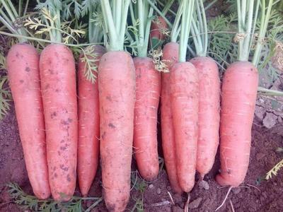 山西忻州小顶胡萝卜 15cm以上 4两以上 3~4cm