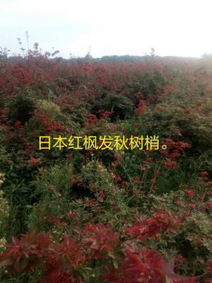 安徽安庆日本红枫红舞妓