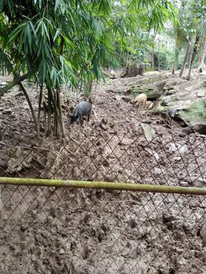 广东东莞特种野猪 统货 160-200斤