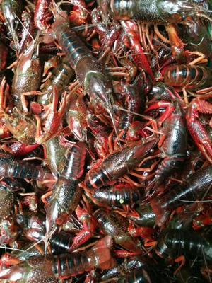 这是一张关于中国小龙虾 5-7钱 人工殖养的产品图片