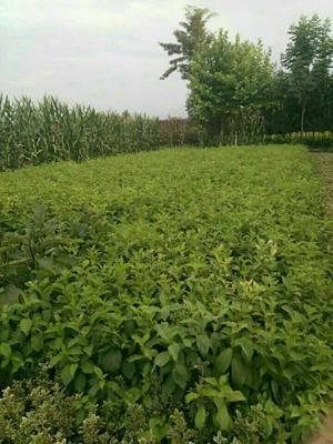 陕西省西安市长安区红王子锦带 40~60公分