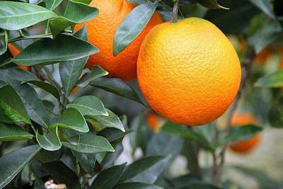 四川达州脐橙 70-75mm 4-8两