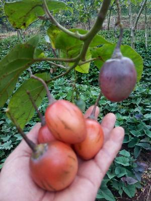 云南西双版纳景洪市树番茄 不打冷 硬黄 弧二以上